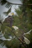 Zwei Adler gehockt auf einer Niederlassung Stockbilder