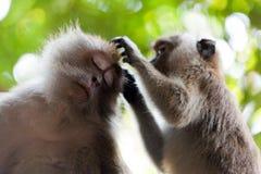 Zwei Affefreunde auf Baum Stockbilder