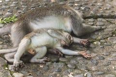 Zwei Affen auf Bali, das zusammen liegt Lizenzfreies Stockfoto