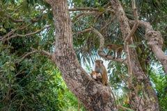 Zwei Affen auf dem Baum, der nach Lebensmittel sucht Lizenzfreie Stockfotos