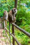 zwei Affen auf einem Zaun in einem Wald Stockfotografie