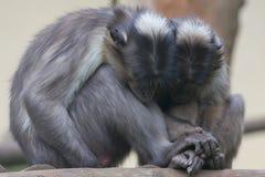 Zwei Affen beim Halten ihrer Hände Stockfotos