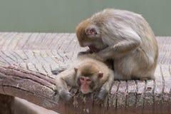 Zwei Affen beim Pflegen Lizenzfreie Stockfotografie