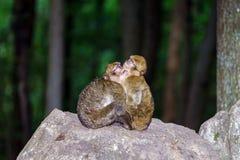 Zwei Affen, die auf dem Stein schlafen Stockbild