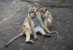 Zwei Affen, die auf einem Felsen sitzen Sri Lanka Stockfoto