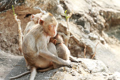 Zwei Affen, die auf Stein sitzen Stockfotografie