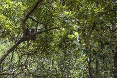 Zwei Affen, die auf einer Niederlassung in der Mangrove schlafen Lizenzfreies Stockbild