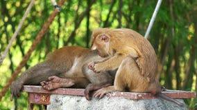 Zwei Affen, die auf Flöhen überprüfen stock video footage