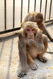 Zwei Affen, die Mais essen Lizenzfreies Stockfoto