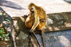 Zwei Affen, die in Sri Lanka sich umarmen lizenzfreies stockbild