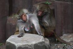 Zwei Affen, die zusammen sitzen Lizenzfreie Stockbilder