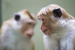 Zwei Affen Toquemakaken Macaca sinica, rötlich-braun-farbiger Affe allgemein in Sri Lanka Lizenzfreie Stockfotografie