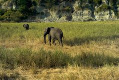 Zwei afrikanische Elefanten, die durch das Gras schlendern stockbilder