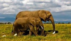 Zwei afrikanische Elefanten, die mit Viehreihern gehen Lizenzfreies Stockbild