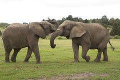 Zwei afrikanische Elefanten, die Südafrika kämpfen Stockfoto