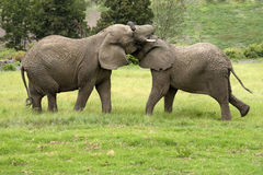 Zwei afrikanische Elefanten, die Südafrika kämpfen Stockbild