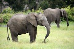 Zwei afrikanische Elefanten, die in Südafrika weiden lassen Stockbilder