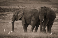 Zwei afrikanische Elefanten im Sepia Stockfotografie