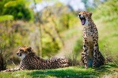 Zwei afrikanische Geparde, die im Gras sich entspannen Stockbild