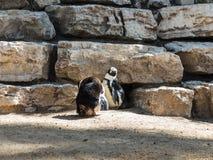 Zwei afrikanische Pinguine stehen und stehen an einem sonnigen Nachmittag still Lizenzfreies Stockfoto