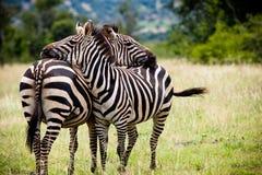 Zwei afrikanische Zebras, die einen Bruch nehmen Lizenzfreies Stockbild