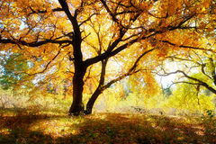 Zwei Ahornbäume und Schatten Lizenzfreie Stockbilder