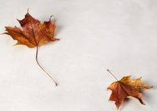 Zwei Ahornholz-Blätter Stockfotografie