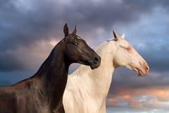 Zwei akhal-teke Pferdeportrait Stockfotos