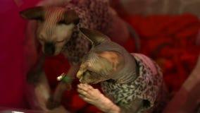 Zwei aktive Sphynx-Miezekatzen in den Kostümen, die mit Spielzeug an der Katzenausstellung spielen stock video