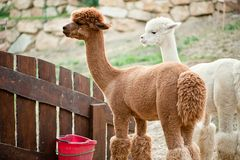 Zwei Alpacas Stockfotos