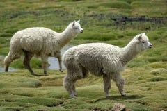 Zwei Alpacas Stockfotografie