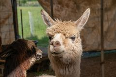 Zwei Alpakas, die miteinander in einem Behälter Guten Tag sagen stockbilder