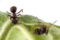 Zwei Ameisen Lizenzfreie Stockfotos