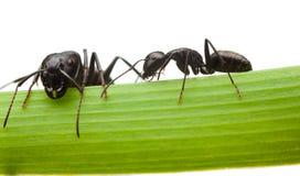 Zwei Ameisen auf Grasblatt Lizenzfreie Stockfotografie