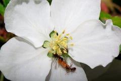Zwei Ameisen mit einer Larve auf einem blühenden Apfelbaum Stockfotos