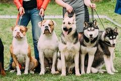 Zwei Amerikaner-Bulldoggen-Hund, Elsässer-Wolf Dog Or German Shepherd-Hund lizenzfreie stockfotografie