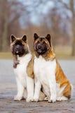 Zwei Amerikanerakita-Hunde draußen Lizenzfreie Stockfotos