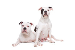 Zwei amerikanische Bulldoggen Lizenzfreie Stockbilder