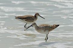Zwei amerikanische kurze Rechnung Dowitcher-Flussuferläufervögel, die im seafoam, die Frau im Fokus stehen lizenzfreie stockbilder