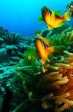 Zwei Anemonenclownfische innerhalb der gelben Anemone stockbilder