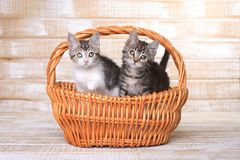 Zwei annehmbare Kätzchen in einem Korb Stockbild