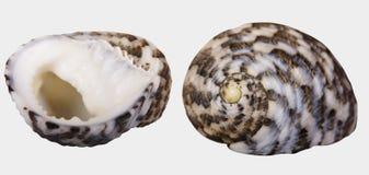 Zwei Ansichten eines Muschel ` Nerita-Chamaeleon ` auf weißem Hintergrund isolatedn Stockfotos