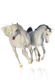 Zwei arabische Pferde auf Weiß Stockfotografie