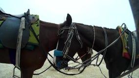 Zwei arabische Pferde, die ruhig neben einander stehen stock video