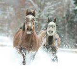 Zwei arabische Pferde, die zusammen in den Schnee laufen Stockfoto