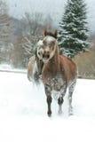 Zwei arabische Pferde, die zusammen in den Schnee laufen Stockbilder