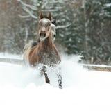 Zwei arabische Pferde, die zusammen in den Schnee laufen Lizenzfreie Stockfotografie