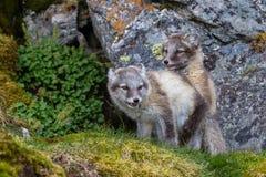 Zwei arktische Füchse sind Spiel auf dem grünen Gras unter dem Rock Stockbilder