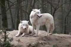 Zwei arktische Wölfe Stockfotos