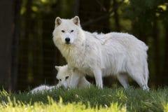Zwei arktische Wölfe Canis Lupus arctos Nahaufnahme im Frühjahr in Kanada Lizenzfreies Stockbild